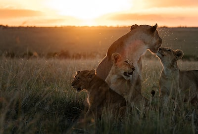Chris-Schmid-Lioness-and-her-cubs-at-sunset-in-kenya